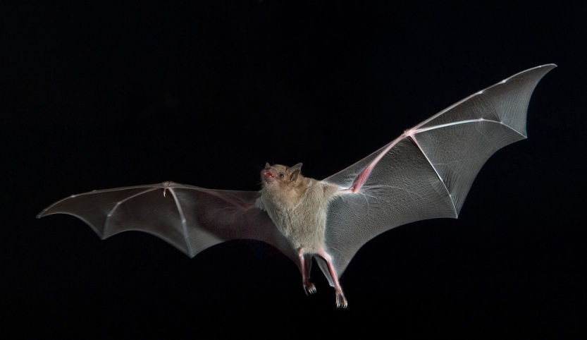 bat-in-flight