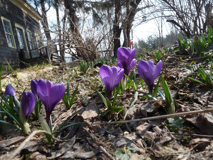 crocus_purple10