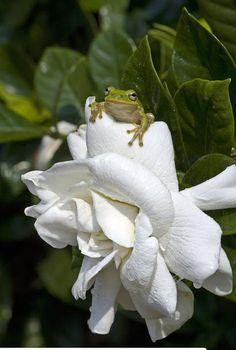 gardenia wiht frog